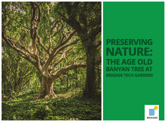 Preserving Nature: The Age Old Banyan Tree at Brigade Tech Gardens